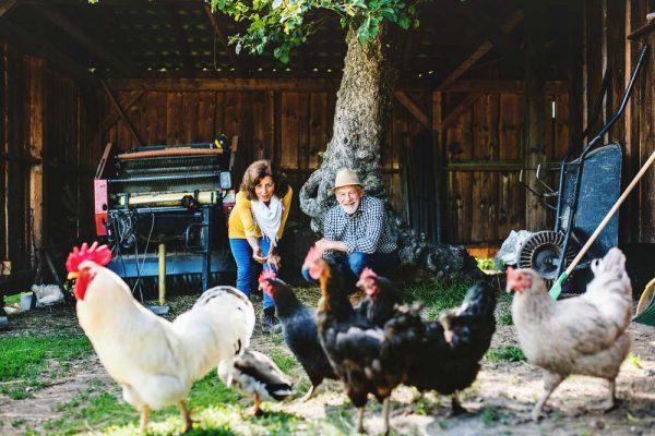 A joyful senior couple with hens on a farm.